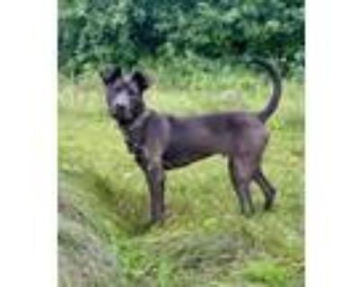 Adopt Rico a Labrador Retriever