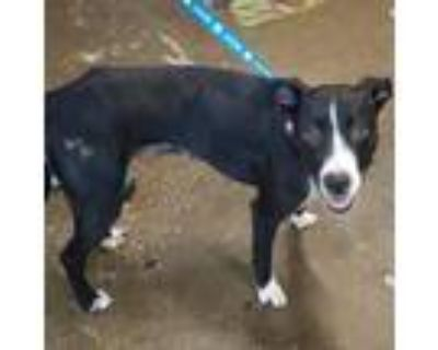 Adopt Beautiful Summer of 69 a Black Border Collie / Mixed dog in Mission