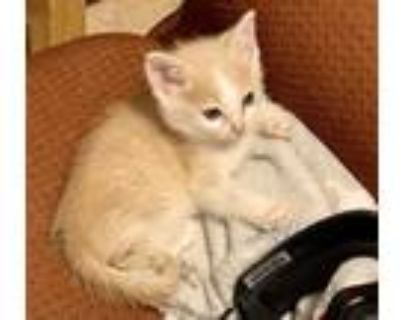 Adopt Peanut a Orange or Red (Mostly) Domestic Mediumhair / Mixed cat in Bossier