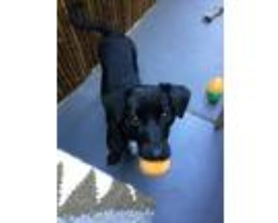 Adopt Cujo a Black - with White Border Collie / Dachshund / Mixed dog in Los