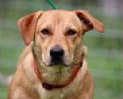 Adopt Nala a Labrador Retriever, Basset Hound