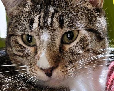 Ally - Domestic Shorthair - Adult Female