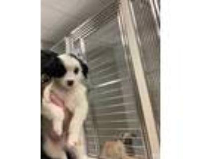 Adopt Alex a Black Labrador Retriever / Mixed dog in Carrollton, TX (32040759)