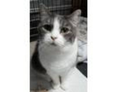 Adopt Rosey a Gray or Blue (Mostly) American Shorthair (short coat) cat in