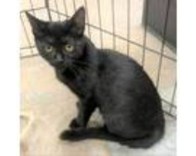 Adopt Tally a All Black Domestic Shorthair / Mixed cat in Blasdell