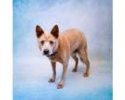 Adopt Pen 123 Boone a Australian Cattle Dog / Blue Heeler