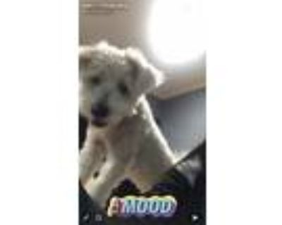 Adopt Mamba a Tan/Yellow/Fawn - with White Poodle (Standard) / Mixed dog in