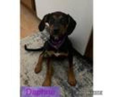 Adopt Daphne a Coonhound, Rottweiler