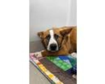 Adopt Subaru a Brown/Chocolate Collie / Mixed dog in Norfolk, VA (31485873)