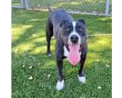 Adopt NORMAN a Black American Pit Bull Terrier / Terrier (Unknown Type