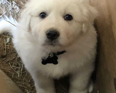 Great Pyrenees- Male