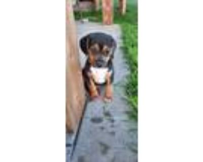 Adopt Vans - Fostered in Omaha a Beagle, Dachshund
