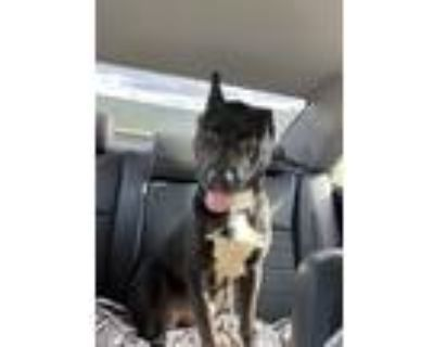 Adopt Queseaux a Black - with White Labrador Retriever / Mixed dog in Bossier