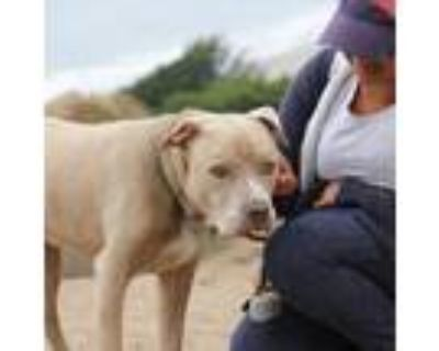 Adopt Kane a Pit Bull Terrier, Labrador Retriever