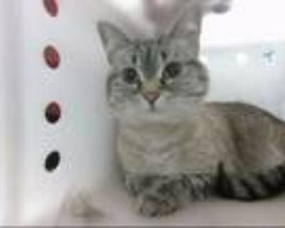 Adopt PACHECO a Siamese, Domestic Short Hair