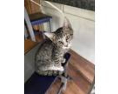 Adopt Toast a Brown Tabby Domestic Shorthair / Mixed (short coat) cat in Dayton