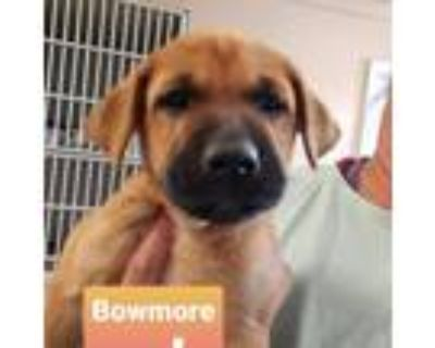 Adopt Bowmore Scotch a Tan/Yellow/Fawn Boxer / Mastiff / Mixed dog in Mission