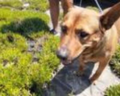 Adopt Rodger a Shepherd, Labrador Retriever