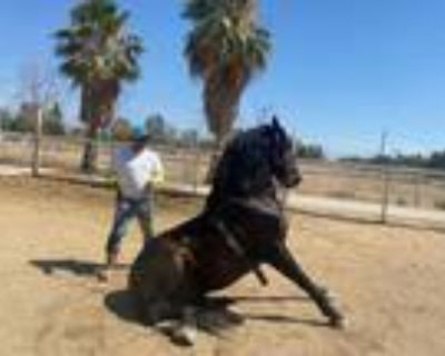 Approved Dancing Beautiful Andalusian stallion