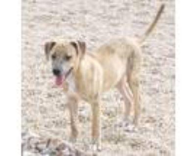 Adopt Grunt a Tan/Yellow/Fawn - with Black Boxer / Labrador Retriever dog in