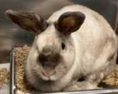 Adopt ORION a White Californian / Mixed rabbit in Tallahassee, FL (32093929)