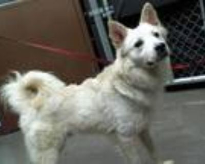 Adopt FONZIE a Chow Chow, Mixed Breed