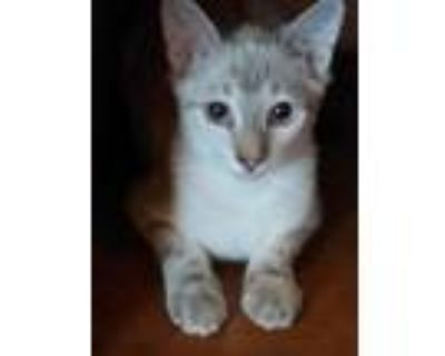 Adopt Festus a White (Mostly) American Shorthair / Mixed (short coat) cat in