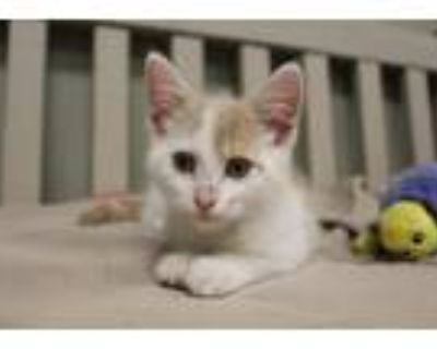 Adopt Cedar a Domestic Shorthair / Mixed cat in Chestertown, MD (32104326)