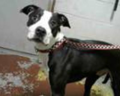 Adopt PINGUEN a Pit Bull Terrier, Mixed Breed