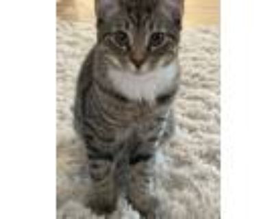 Adopt Freddy a Brown Tabby Domestic Shorthair / Mixed (short coat) cat in Babson
