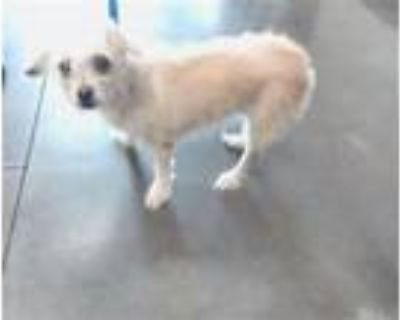 Adopt BERRY a Cairn Terrier, Mixed Breed