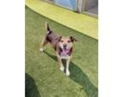 Adopt Coco a Tricolor (Tan/Brown & Black & White) Beagle / Cattle Dog / Mixed