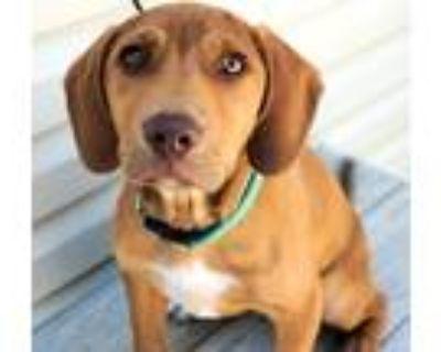 Adopt *Has Application* Charlie a Dachshund, Labrador Retriever