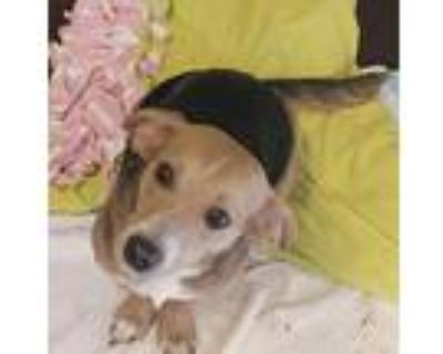 Adopt Rosie coming 6-21 a Tricolor (Tan/Brown & Black & White) Beagle / Mixed