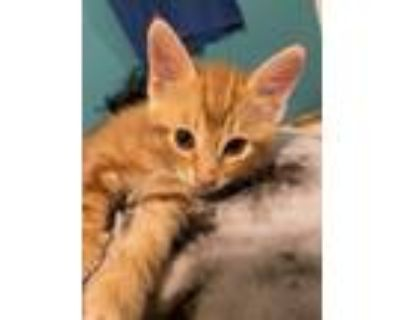 Adopt Astro a Brown Tabby American Shorthair / Mixed (short coat) cat in