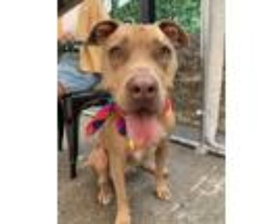 Adopt Stella a Tan/Yellow/Fawn American Pit Bull Terrier / Mixed dog in Los