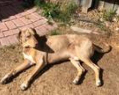 Adopt Aros a Catahoula Leopard Dog