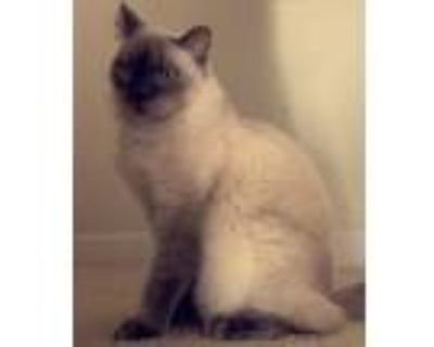 Adopt Aspen a Brown or Chocolate (Mostly) Balinese (long coat) cat in Boca