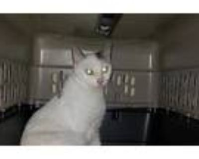 Adopt a White (Mostly) Domestic Shorthair / Mixed (short coat) cat in Norfolk