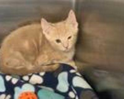 Adopt a Tan or Fawn Tabby Domestic Mediumhair / Mixed (medium coat) cat in