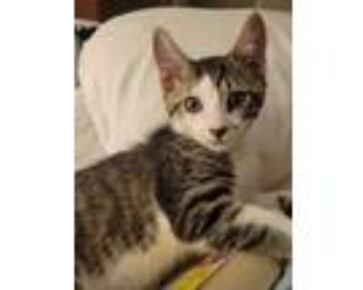 Adopt Domino a Gray, Blue or Silver Tabby Domestic Mediumhair / Mixed cat in