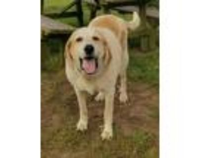 Adopt Woogee a Great Pyrenees