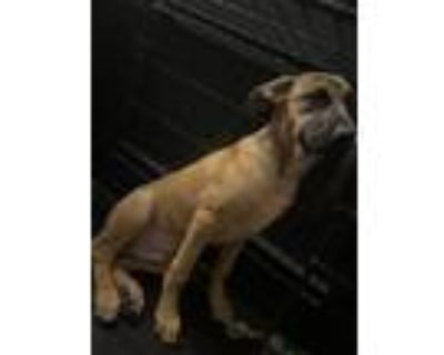 Adopt Remmy a Brown/Chocolate - with Black Belgian Shepherd / Mixed dog in
