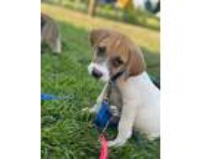 Adopt Junior a Terrier