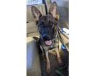 Adopt Zoey a German Shepherd Dog