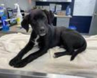 Adopt Bambam a Black Retriever (Unknown Type) / Mixed dog in Greenwood