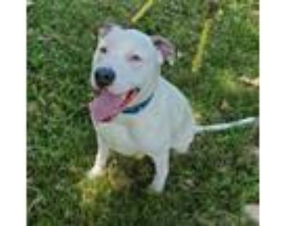 Adopt Jake a Labrador Retriever, Dalmatian