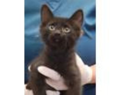 Adopt 654962 a All Black Domestic Mediumhair / Domestic Shorthair / Mixed cat in