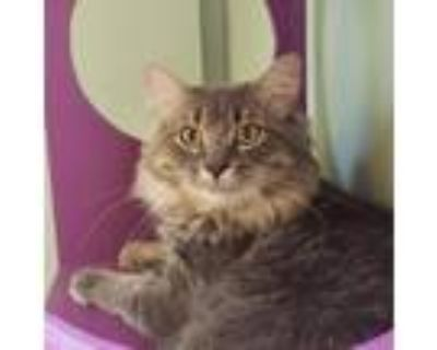 Adopt Percy a Gray or Blue Domestic Longhair / Mixed cat in Brimfield