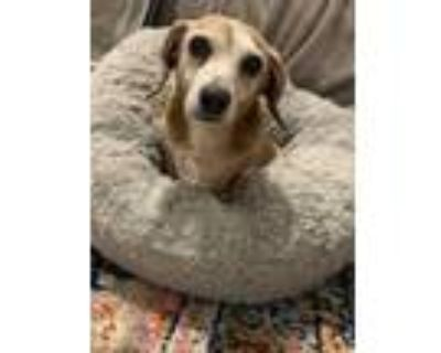 Adopt Roxie Doxie a Tan/Yellow/Fawn Dachshund / Mixed dog in Indianapolis